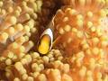 Tiny clownfish