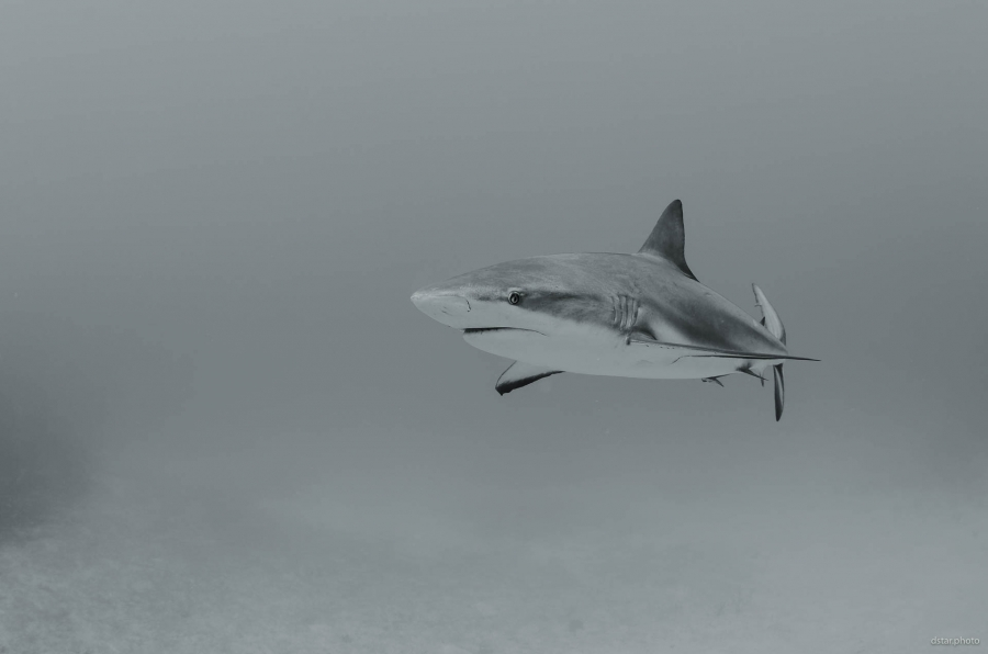 The shark in BW