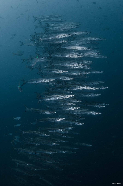 Swarm of barracudas
