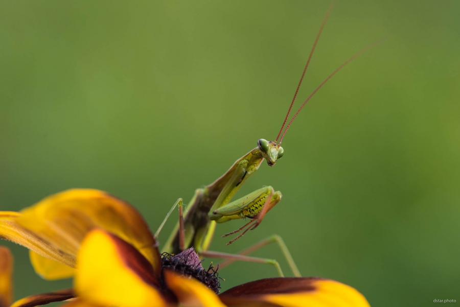 Mantis on the flower