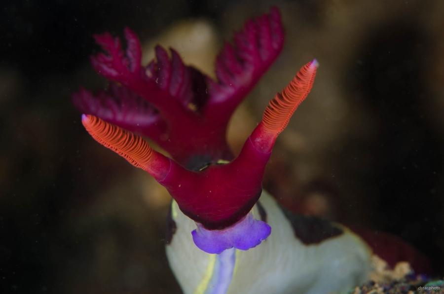 Portrait of Nembrotha chamberlaini nudibranch