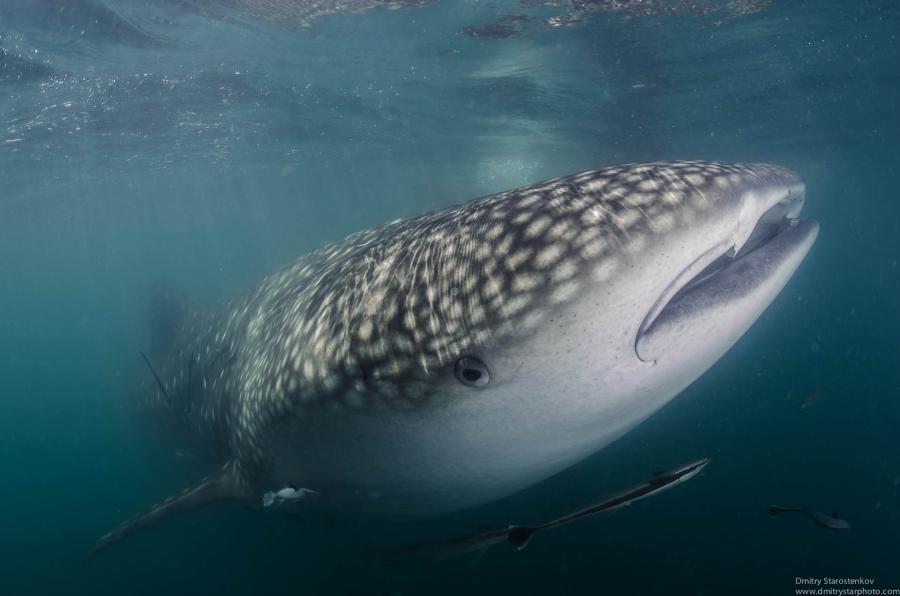 The whale shark portrait