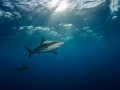 Sharks in the sunrays