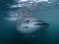 Whale shark at the Gulf of Thailand