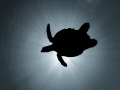 The soaring turtle