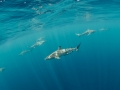 Sharks galore