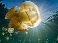 Jellyfish bulb