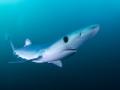 Shark's elegance