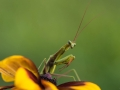 Mantis on the flower