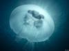 Shining jellyfish