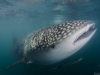 The whale shark portrait