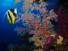 Soft corals and bannerfish
